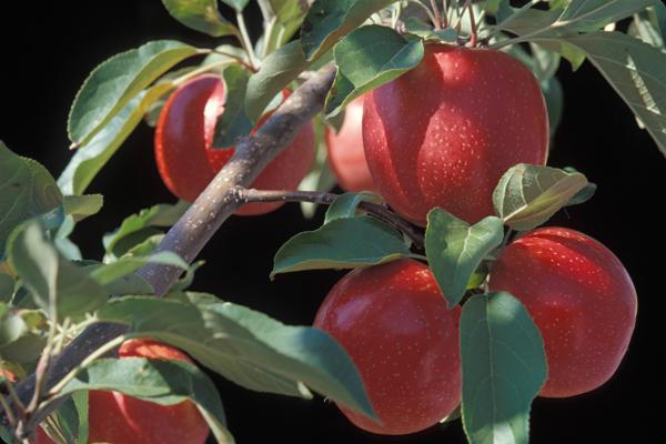MN #1914 apple.